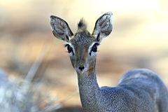Dik-dik wild goat Royalty Free Stock Photo