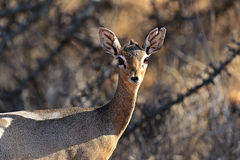 Dik-dik wild goat Royalty Free Stock Photos