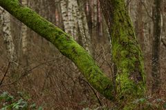 Dik mos op een boom stock foto