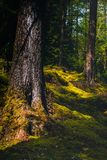 Dik Moss Growing op Forest Floor in Argyll en Bute in Schotland stock foto