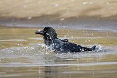 Dikbekkraai, Jungle Crow, Corvus macrorhynchos royalty free stock photo