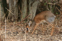 Dikdik Royalty Free Stock Images