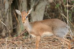 Dikdik antelope Stock Image
