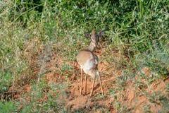Dikdik in the Masai Mara Royalty Free Stock Photo