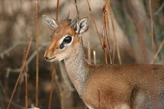Dikdik portrait Royalty Free Stock Photography