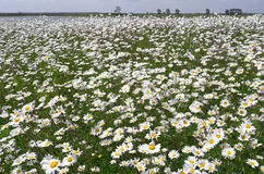Dike with daisies in bloom. Stock Photo
