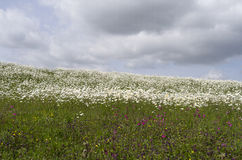 Dike with daisies and cuckoo flowers. Stock Image