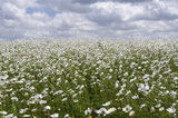 with daisies in flower. Royalty Free Stock Image
