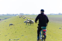 Dike sheep. Detail of a sheep and lamb grazing on a dike with a blurry cyclist in the foreground Royalty Free Stock Photography