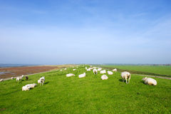 Dike with sheep at Dutch Ameland Royalty Free Stock Image