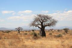 Dikke baobabbomen in Afrikaanse struik stock afbeelding