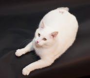 Dikke witte kat met gele ogen die op zwarte achtergrond liggen Stock Fotografie