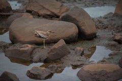 水dikkop在它的自然生态环境 免版税库存图片