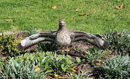 Dikkop et x28 ; x29 épais-knee& repéré ; dans un jardin en Afrique du Sud Photo libre de droits