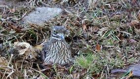 Dikkop-Vogel, der auf Eiern sitzt Stockfoto