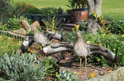 Dikkops & x28; 被察觉的厚实的knee& x29;在一个庭院里在南非 免版税库存照片