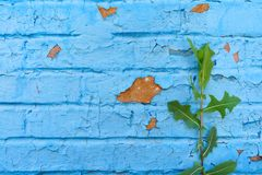 Dilapidated cracked brick wall, painted with blue paint, on which a green plant has grown fragment stock photo