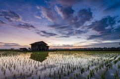 Dilapidated wooden house in the middle of paddy field over beautiful sunrise background. royalty free stock image