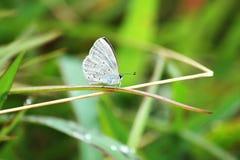 Dilecta di dilecta di Udara Pale Hedge Blue fotografie stock