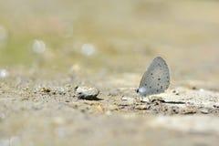 Dilecta Udara λίγη πεταλούδα Στοκ φωτογραφία με δικαίωμα ελεύθερης χρήσης