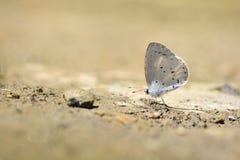 Dilecta Udara λίγη πεταλούδα Στοκ Εικόνες