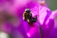 Diligent bee covered with pollen on a leaf of a Bougainvillae. Diligent honey bee covered with pollen on a purple leaf of a Bougainvillae stock image