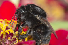 Diligent bumblebee. Flowers of zinnia (Zinnia hybrida) with black bumblebee Stock Photo