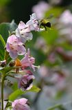 A diligent bumblebee. This diligent bumblebee is gathering honey from the flowers royalty free stock photography