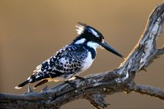 Diligent Fisher. This Pied Kingfisher is perched, looking for a fish to catch Stock Image