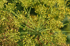 DILL. Inflorescence green, yellow close-up Stock Photo