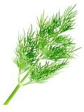 Dill. Royalty Free Stock Photo