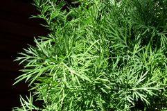 Dill. Spice royalty free stock images