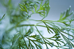 Dill. Green dill in macro view royalty free stock photography