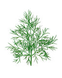 Dill. Twig of a dill isolated on white background Stock Photo