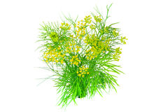 Dill. Fresh green Dill on white background Royalty Free Stock Image
