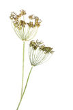 Dill. Umbrels with seeds isolated on white background stock photos