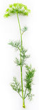 Dill. Green dill isolated over white background Stock Photo