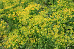 Dill. Plant (Anethum graveolens) - perennial edible herb Royalty Free Stock Photography