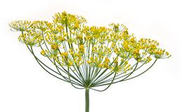 Dill. Inflorescence of garden plant dill on a white background Royalty Free Stock Photography