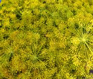 Dill. A dill plant ready for harvest royalty free stock photos