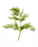 Dill. Green fresh dill over white royalty free stock photo