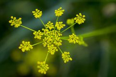 Dill. Fennel; yellow; blossom; garden; spring; flowering Royalty Free Stock Photo
