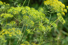 Dill. Picture of green dill, Anethum graveolens Stock Image