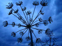 Dill. Sprig of dill on an evening celestial background Royalty Free Stock Photography