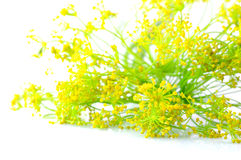Dill. For marinade or pickling Royalty Free Stock Photos