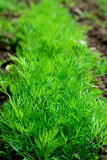 Dill. Young dill on a farm Royalty Free Stock Images