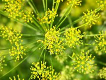 Dill. Inflorescence royalty free stock photography