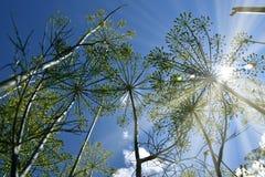 dill Anethum graveolens, Ansicht von unterhalb zum Himmel Hintergrundbeleuchtungssonnenlicht Stockfoto