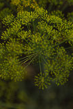 Dill. (Anethum graveolens) in garden Royalty Free Stock Image