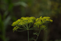 Dill. (Anethum graveolens) in garden Royalty Free Stock Images